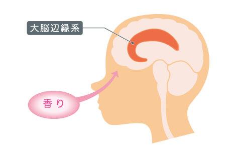 大脳辺縁系の画像